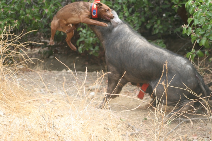 California Catchers - Patterdale Terriers and Argentine Dogos