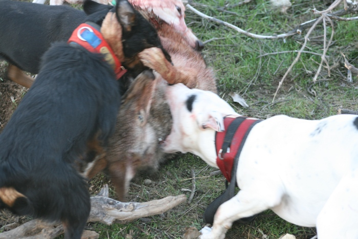 Full Size Vs Miniature Bull Terrier California Catc...